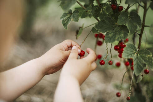 Girl picking currants - VBF00087