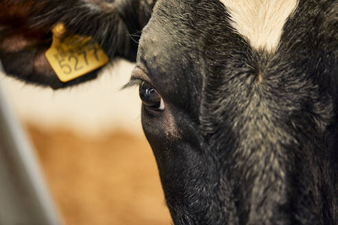 Close-up of black cow in dairy farm - ZEDF03372