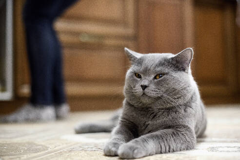 British Shorthair cat lying on floor at home with woman in background - EYAF01109