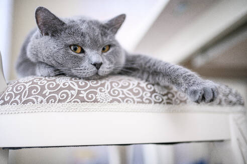 British Shorthair cat lying on chair at home - EYAF01112