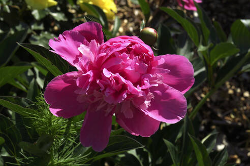 Head of pink blooming peony - JTF01567