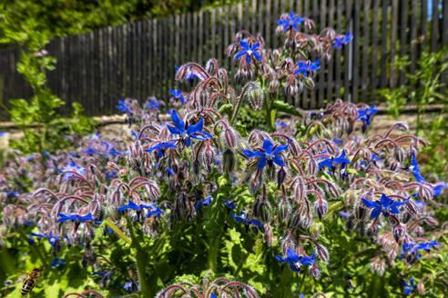 Borage growing in garden - NDF01068