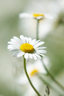 Oxeye daisy in bloom - BSTF00183