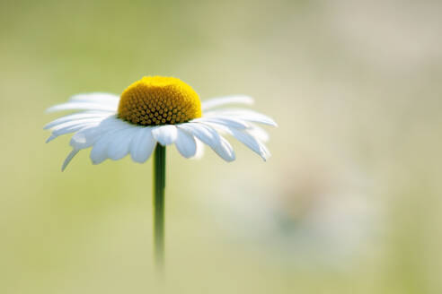 Oxeyedaisy in bloom - BSTF00186