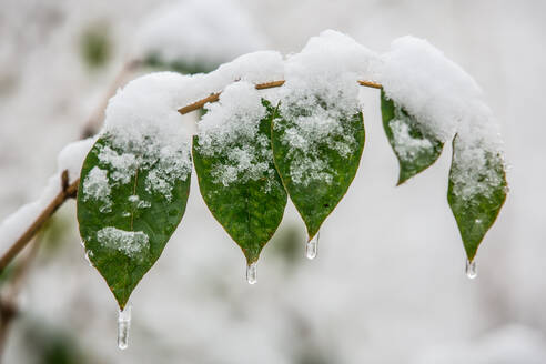 Close-Up Of Snow On Plant During Winter - EYF07141
