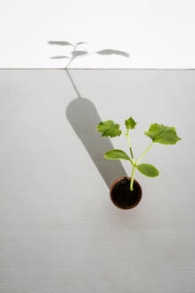 Potted zucchini seedling - OJF00414