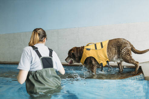 labrador retriever dog doing exercices swimming in a pool in a physiotherapist dogs center - GMLF00266