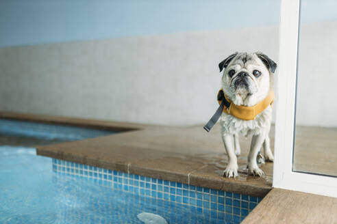 pug dog doing exercices swimming in a pool in a physiotherapist dogs center - GMLF00278