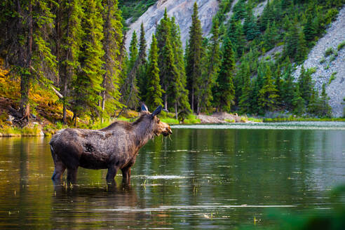 Moose Standing In Lake At Forest - EYF09238