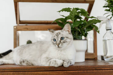 Cat with blue eyes lying on table - AFVF06714