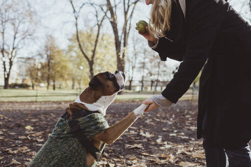 Midsection of young woman and boxer dog with handshake while holding ball at park - MASF19280