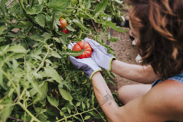 Close-up of mid adult woman holding tomato in community garden - EBBF00415