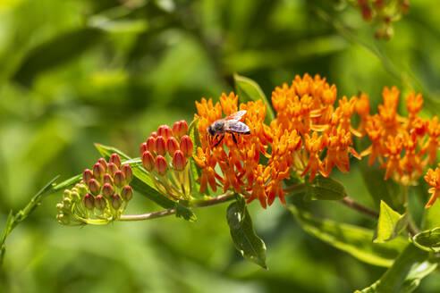 Bee feeding on orange blooming wildflowers - NDF01106