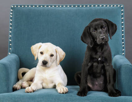 Portrait cute black and yellow puppies in teal blue armchair - FSIF04959