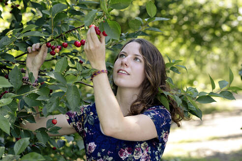 Close-up of young woman picking cherry from plant in farm - FLLF00494