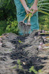 Woman gardening in onion garden - KNTF05048