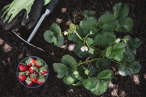 Strawberries in bowl with gardening equipment by plants on land - SKCF00673