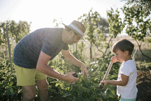 Grandfather and grandson picking eggplants in field - GRCF00323