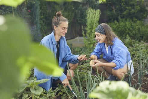 Smiling female friends picking potatoes in community garden - UKOF00039