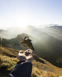 Jackdaw flying in front of hand with food, Hochplatte, Bavaria, Germany - MALF00082