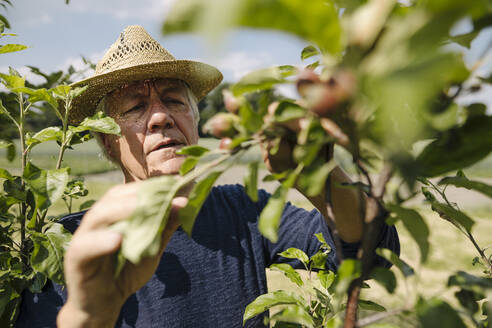 Wrinkled man looking at crop in agricultural field - GUSF04419