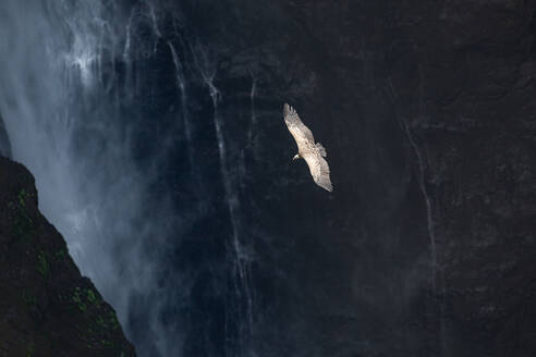 From above of spectacular scenery of wild vulture soaring over rocky cliff and waterfall - ADSF14787