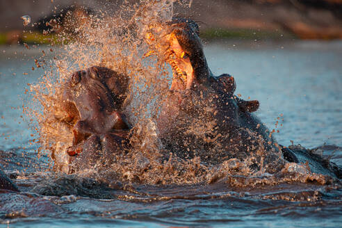 Closeup of wild aggressive hippos fighting heavily in water of Chobe river in Botswana in Africa - ADSF14799