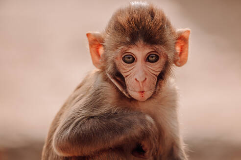 Cute little rhesus macaque baby sitting on stone in forest in India looking at camera - ADSF15300