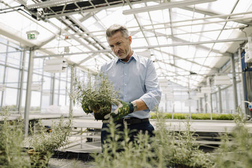 Male professional examining potted plants in greenhouse - JOSEF01797