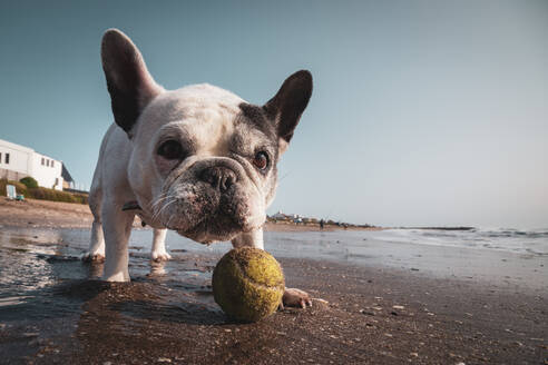 French bulldog playing with a tennis ball on the beach - CAVF88938