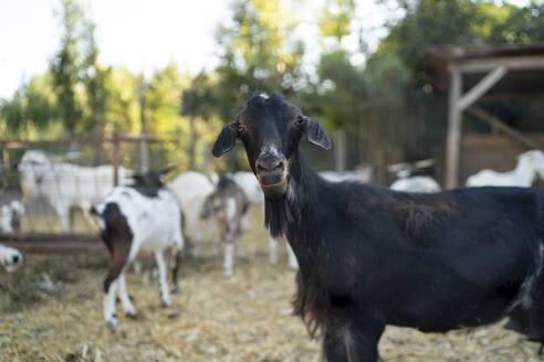 Black goat standing in farm - OCMF01703