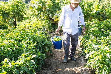 Senior man carrying peppers in bucket at vegetable garden - JCMF01496