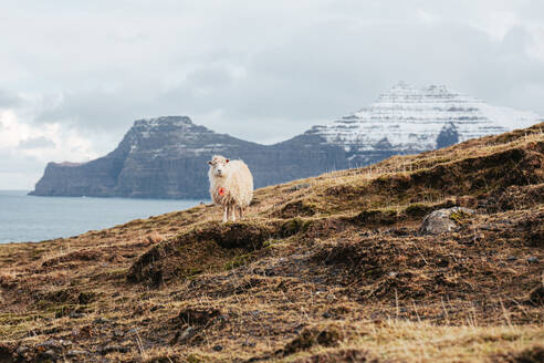 Domestic sheep on cold day in winter on background of snowy mountains and river on Faroe Islands - ADSF16255