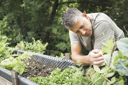 Man looking at plants growing on raised bed in garden - HMEF01076
