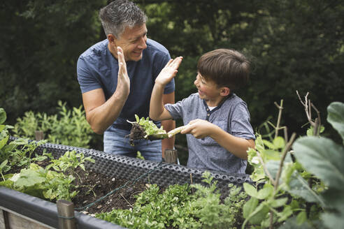 Happy boy giving high-five to father while holding plant with trowel by raised bed in garden - HMEF01085