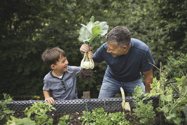 Smiling father and son holding harvested kohlrabi from raised bed in garden - HMEF01091