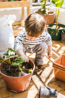 1 year-old boy planting strawberries in a pot in the balcony - FLMF00312