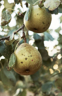 Ripe pears growing outdoors - BZF00593