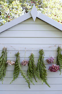 Hydrangeas and rosemary drying outdoors on garden shed - GISF00681