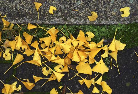 Fallen ginkgo (Ginkgo biloba) leaves lying outdoors in autumn - JTF01734