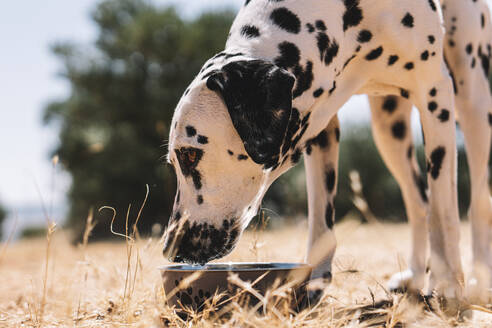 Dalmatian dog drinking water from bowl on field - ABAYF00016