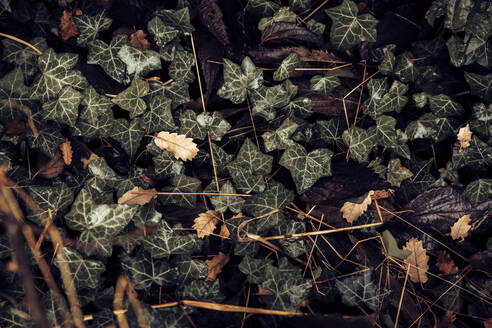 Ivy leaves and dried Autumn leaves - ACPF00882