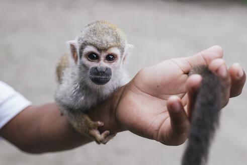 Capuchin monkey on hand at Misahualli, Ecuador - DSIF00203