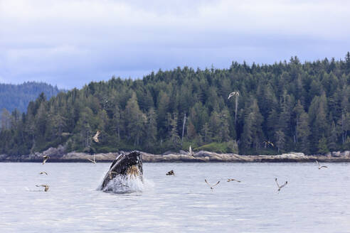 Humpback whale (Megaptera novaeangliae), feeding at the surface, Alert Bay, Inside Passage, British Columbia, Canada, North America - RHPLF18382