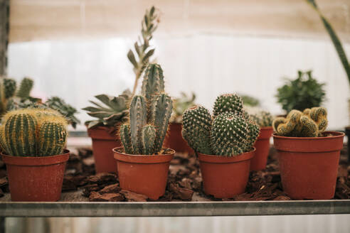 Cactus plants growing in greenhouse - GRCF00470