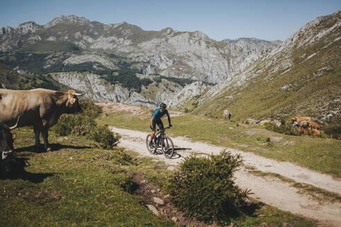Male cyclist riding mountain bike by cow, Picos de Europa National Park, Asturias, Spain - DMGF00386
