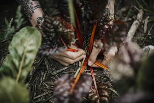 Close-up of farmer's hand harvesting chard crop at farm - MJRF00296