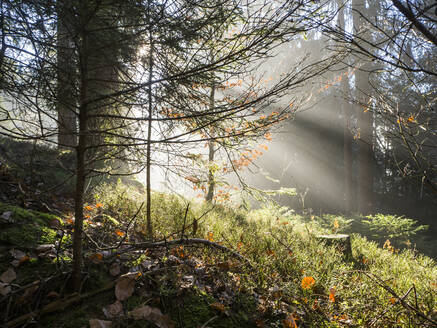 Forest trees illuminated by rising sun - HUSF00138