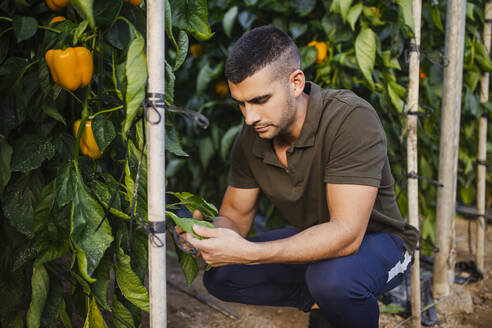Young farm worker analyzing leaf of yellow bell pepper plant at greenhouse - MIMFF00353
