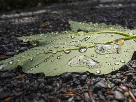 Water droplets on green fallen leaf - HUSF00152